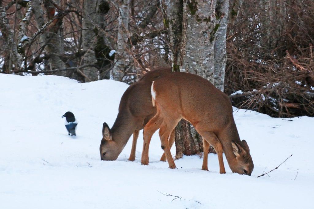 Streng vinter og store snømengder gjør det vanskelig for rådyr å finne mat.
