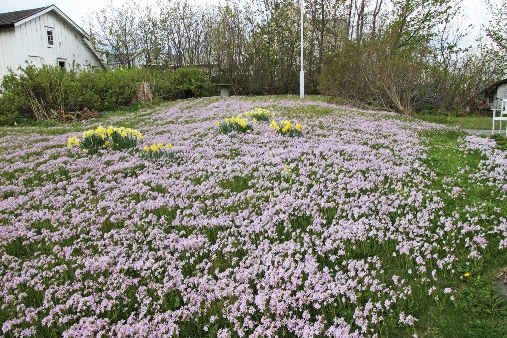 Engkarse danner viltvoksende, vakkert teppe i hagen.