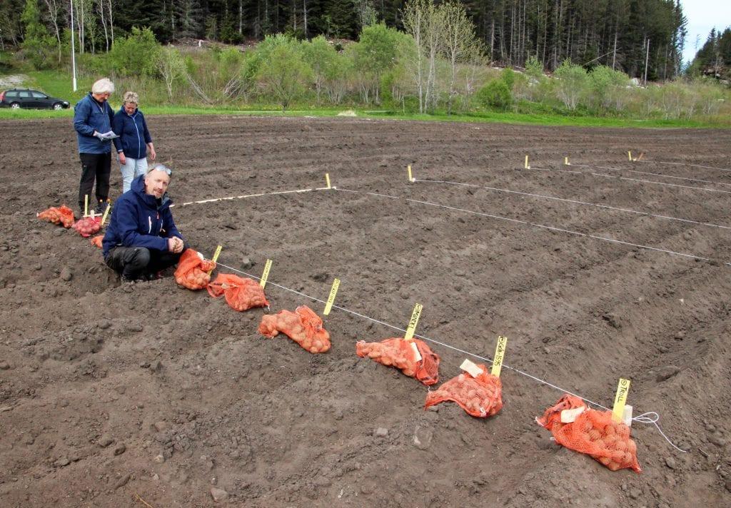 Nye potetsorter testes i et forsøksfelt på Dønna.