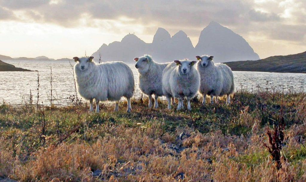 Innbyggere i Selvær satser på samdrift med sau.