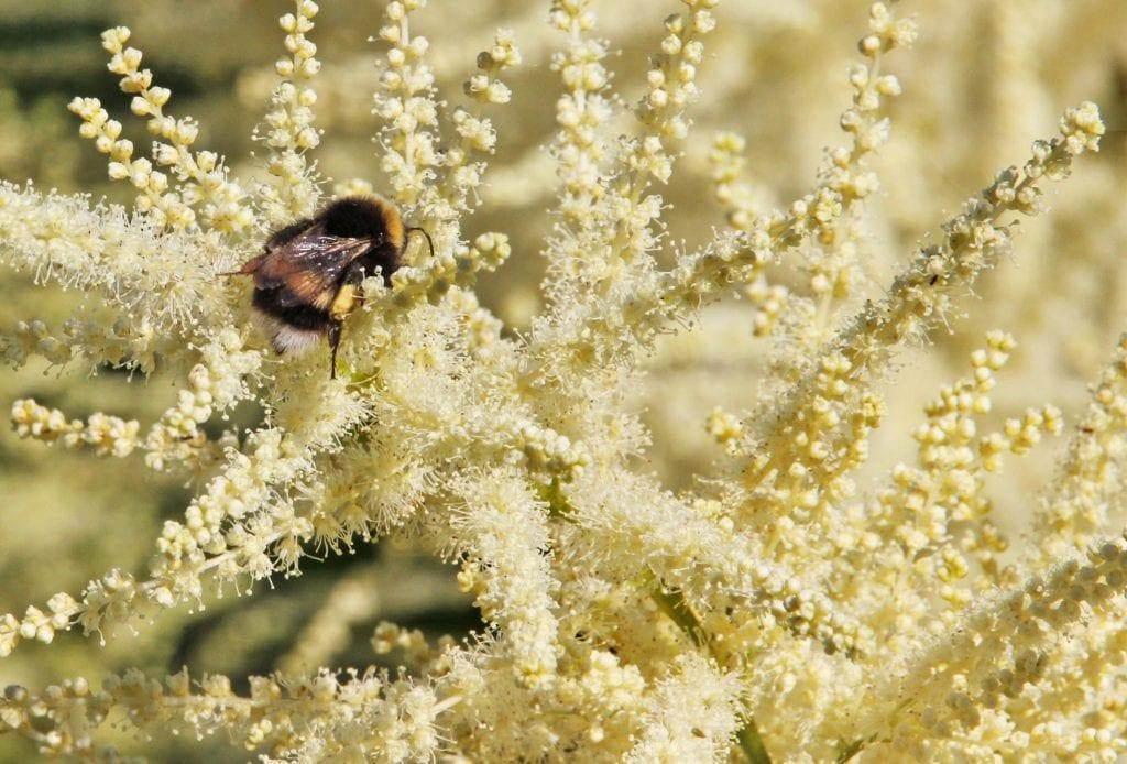 Ei humle jakter næring mellom blomtene på skogskjegg-plante.