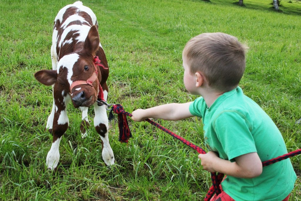 Kalvemønstring er et populært innslag på Horva. Her foregår er unge deltakere i ferd med å forberede seg til forrige utgave av Horva.