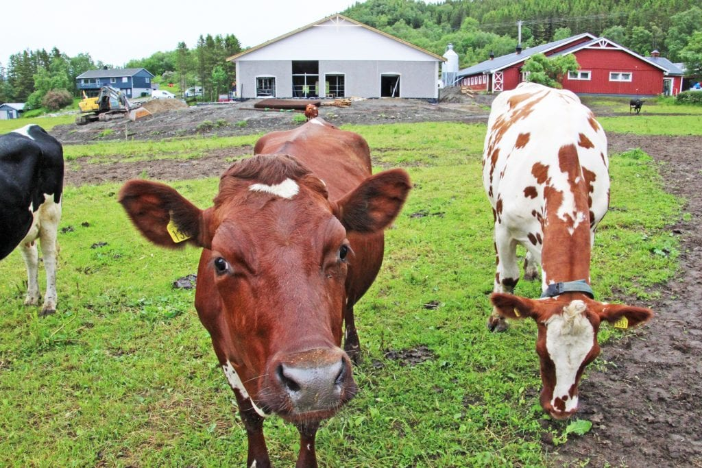 Alstahaug kommune og Helgeland Sparebank inviterer til Åpent fjøs på Husmo gård hvor eierne er i ferd med å fullføre byggingen av et nytt fjøs.