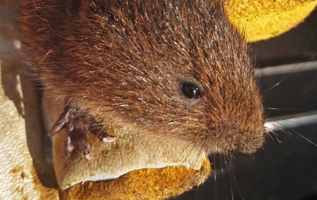 Vånd skaper problemer både når den graver underjordiske ganger og når den forsyner seg av dyrefôr.