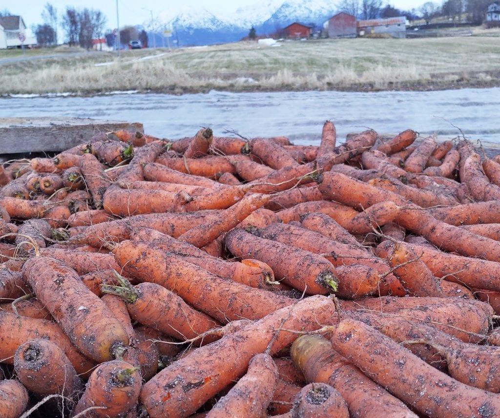 Gulrot til påske: Vanskelige forhold gjorde at gulrøttene ikke ble tatt opp i høst. De måtte overvintre i åkeren, men var like fine da Jostein Skaga høstet gulrot 1. april.