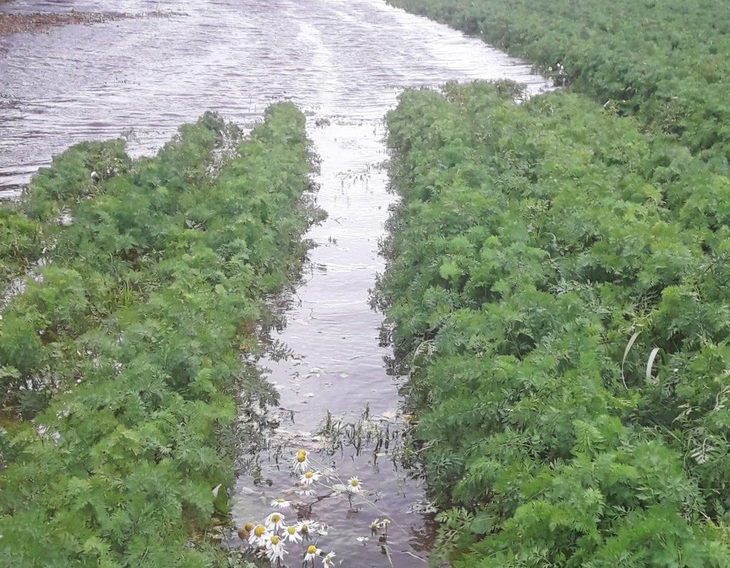 Åkeren med gulrøtter badet i sjøvann da stormfloa var på sitt høyeste tidligere i uka.